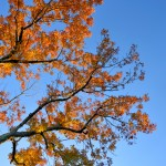 Fall Foliage - Orange Leaves