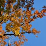 Fall Foliage - Orange & Yellow Leaves
