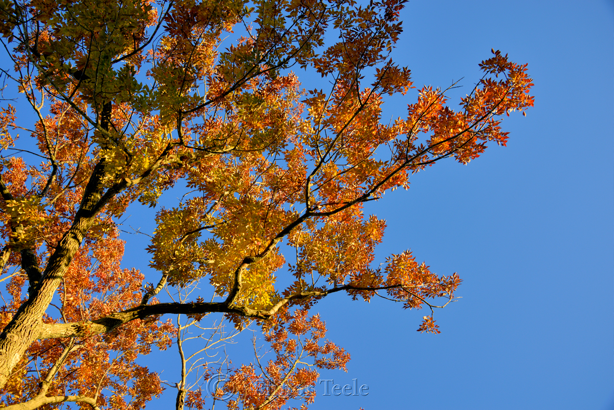 Fall Foliage - Orange & Yellow Leaves