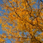 Fall Foliage - Yellow Leaves