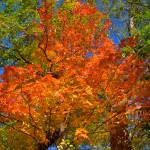 Fall Foliage - Orange Maple