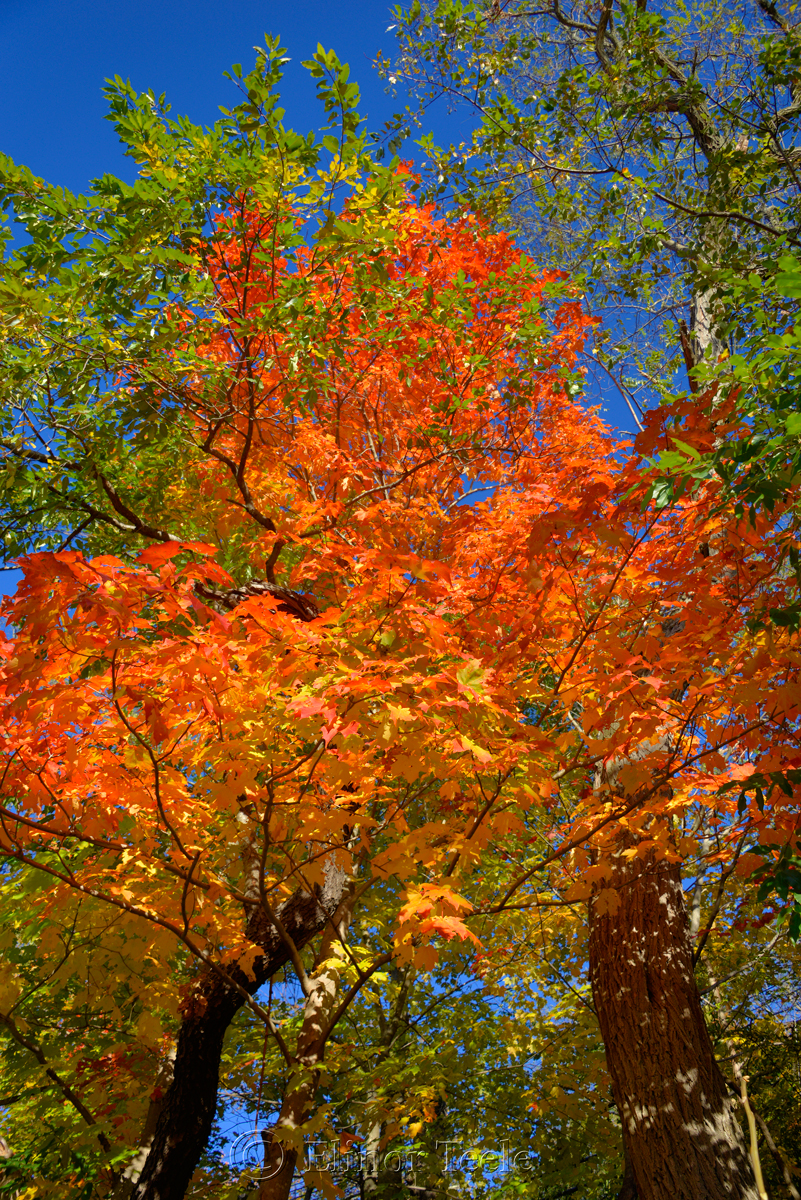 Fall Foliage – Orange Maple