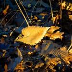 Gold Leaf, Goose Cove Reservoir, Gloucester MA