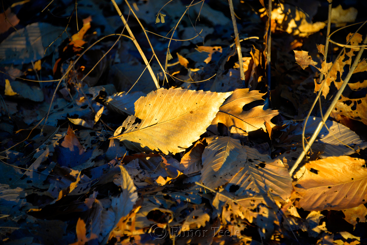 Gold Leaf, Goose Cove Reservoir, Gloucester MA