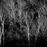 November Birches - Black & White