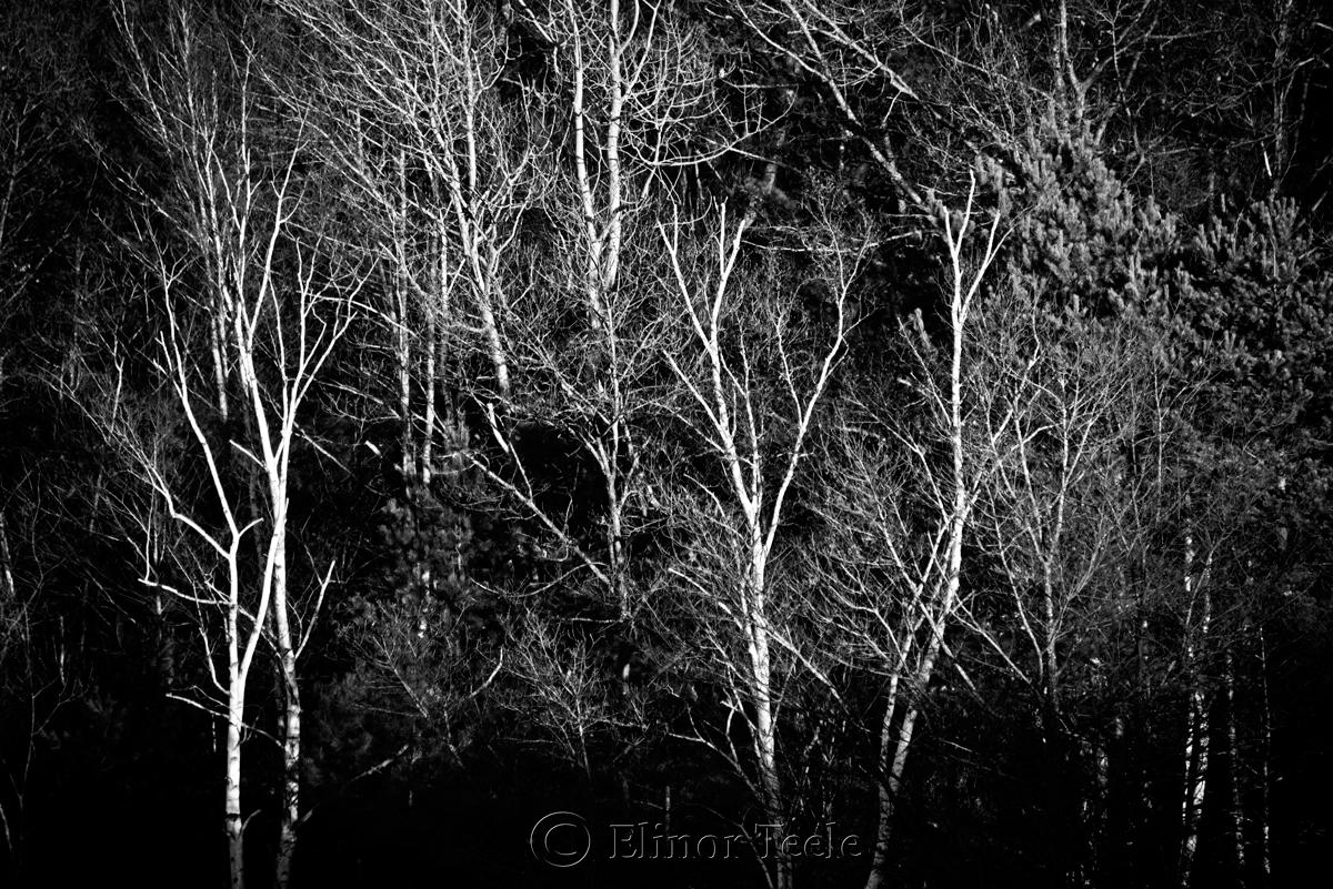 November Birches - Black & White