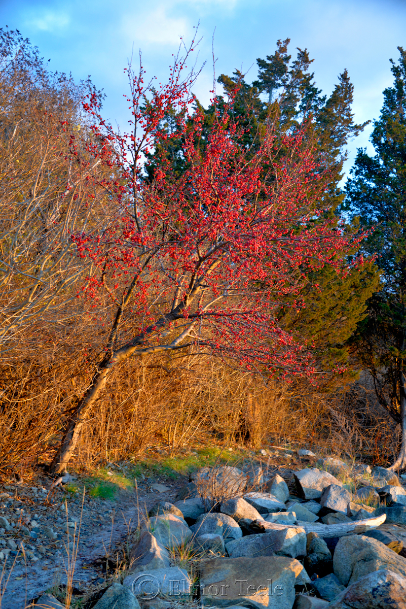 Red Berries – December Light, Annisquam MA