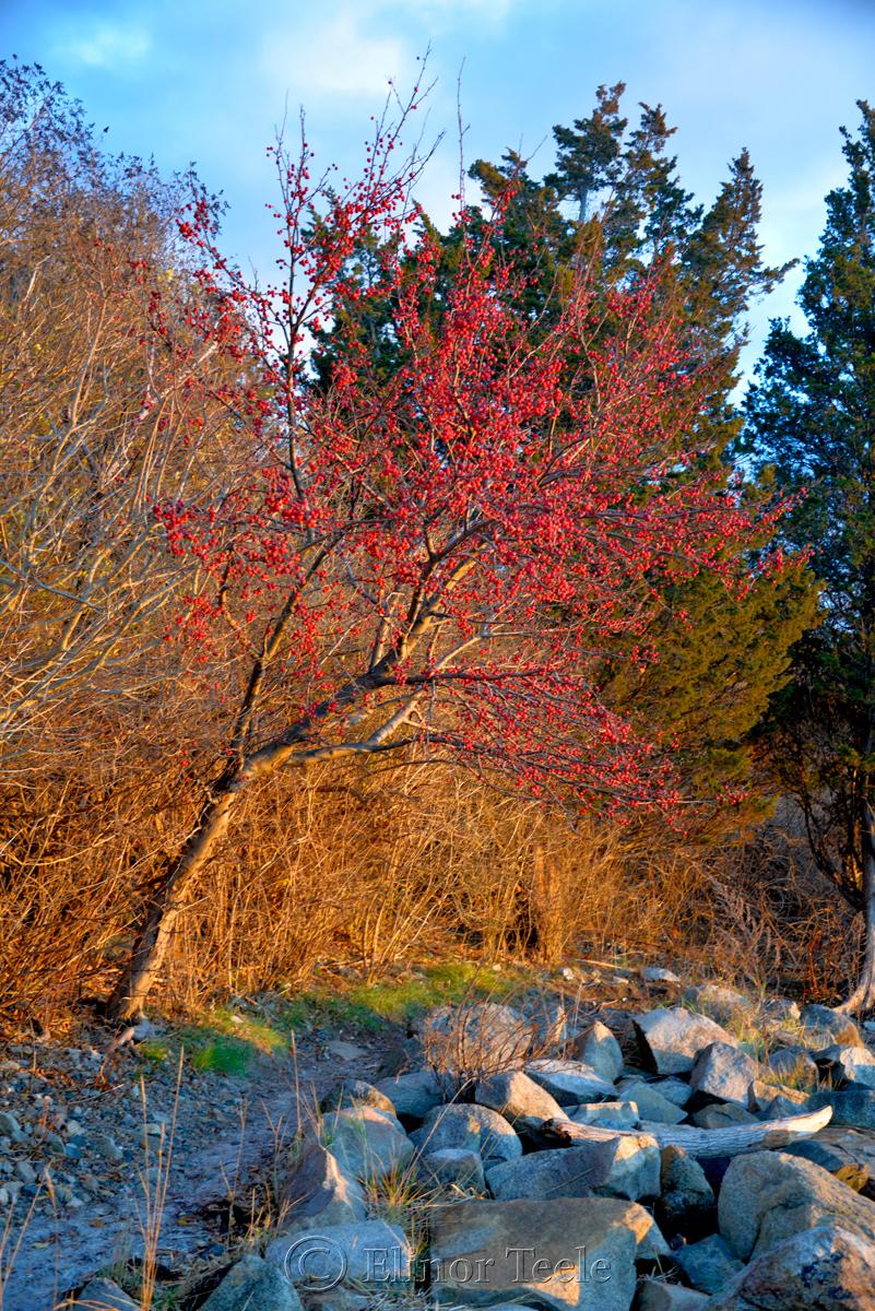 Red Berries - December Light, Annisquam MA