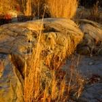 Golden Sea Grass & Rocks