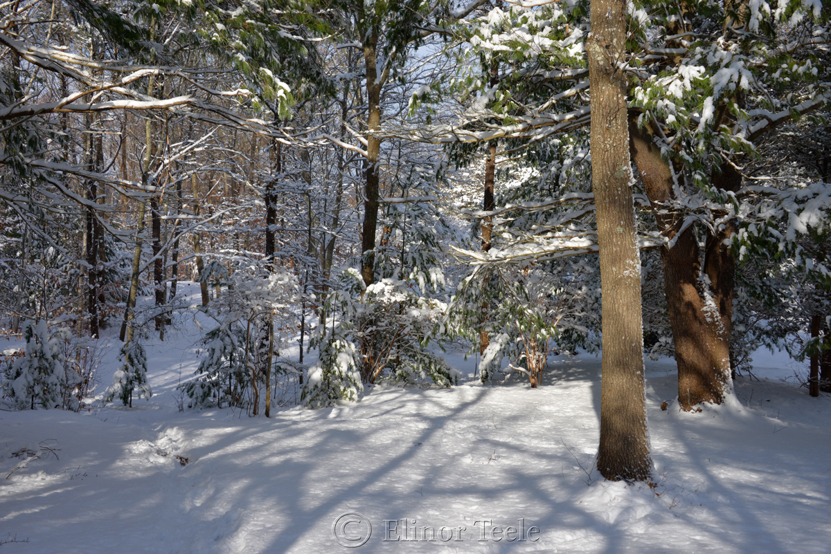 Evergreens, January Snow, Annisquam MA 1