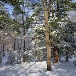 Evergreens, January Snow, Annisquam MA 2