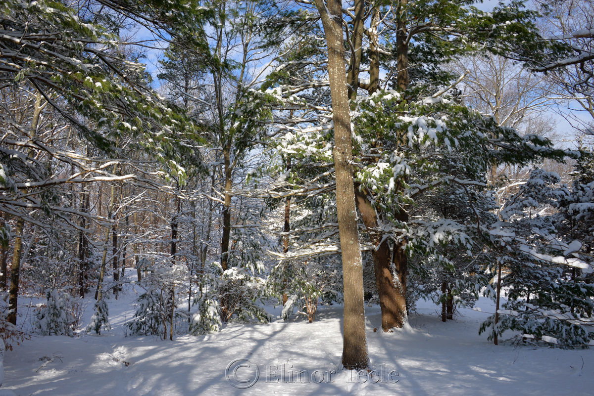 Evergreens, January Snow, Annisquam MA 2