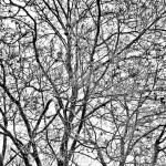 Snowy Trees - Black & White 2