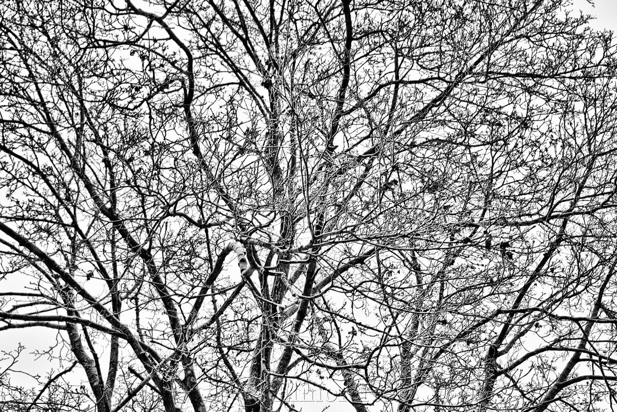 snowy trees � black amp white 2