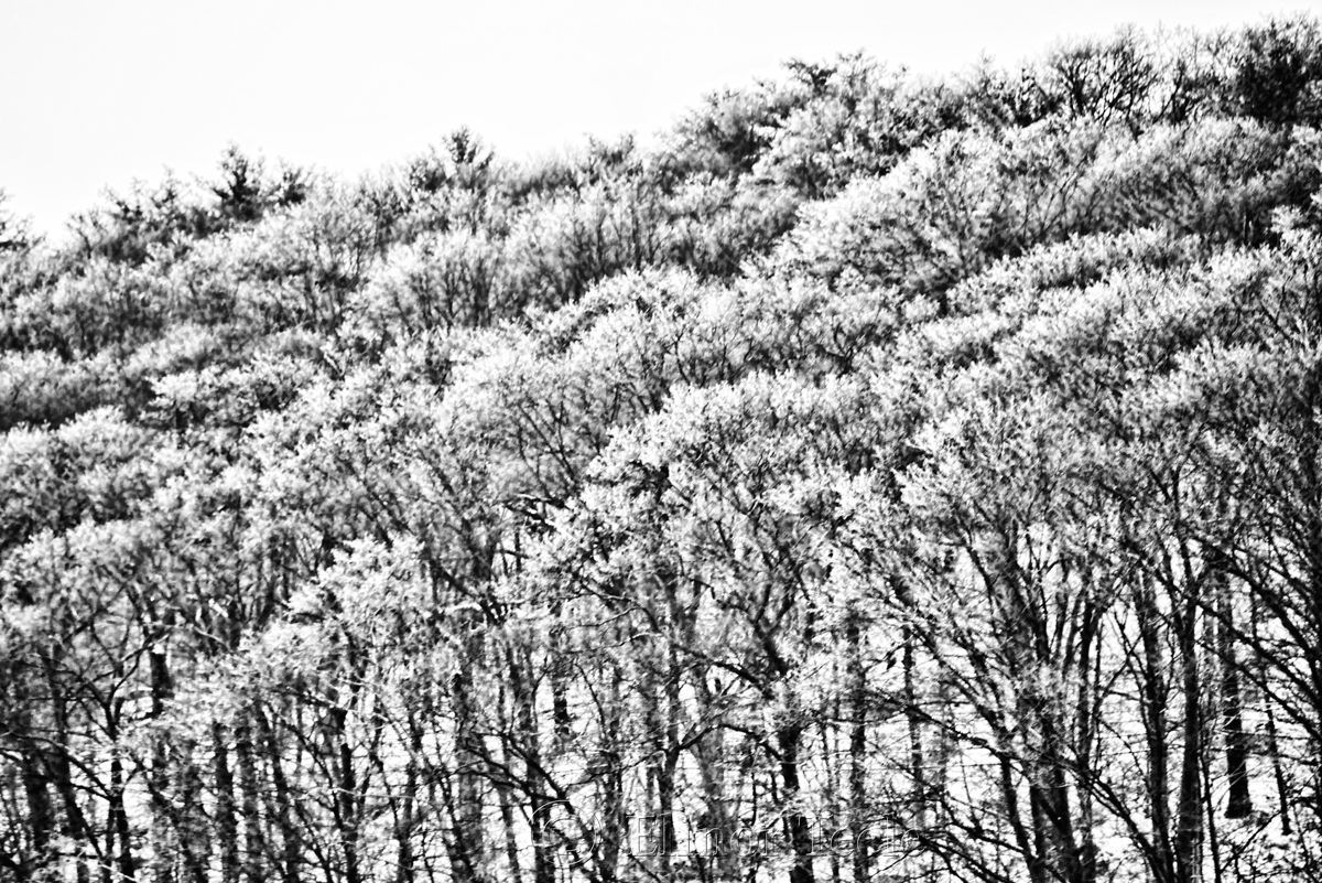 Snowy Trees - Black & White 4