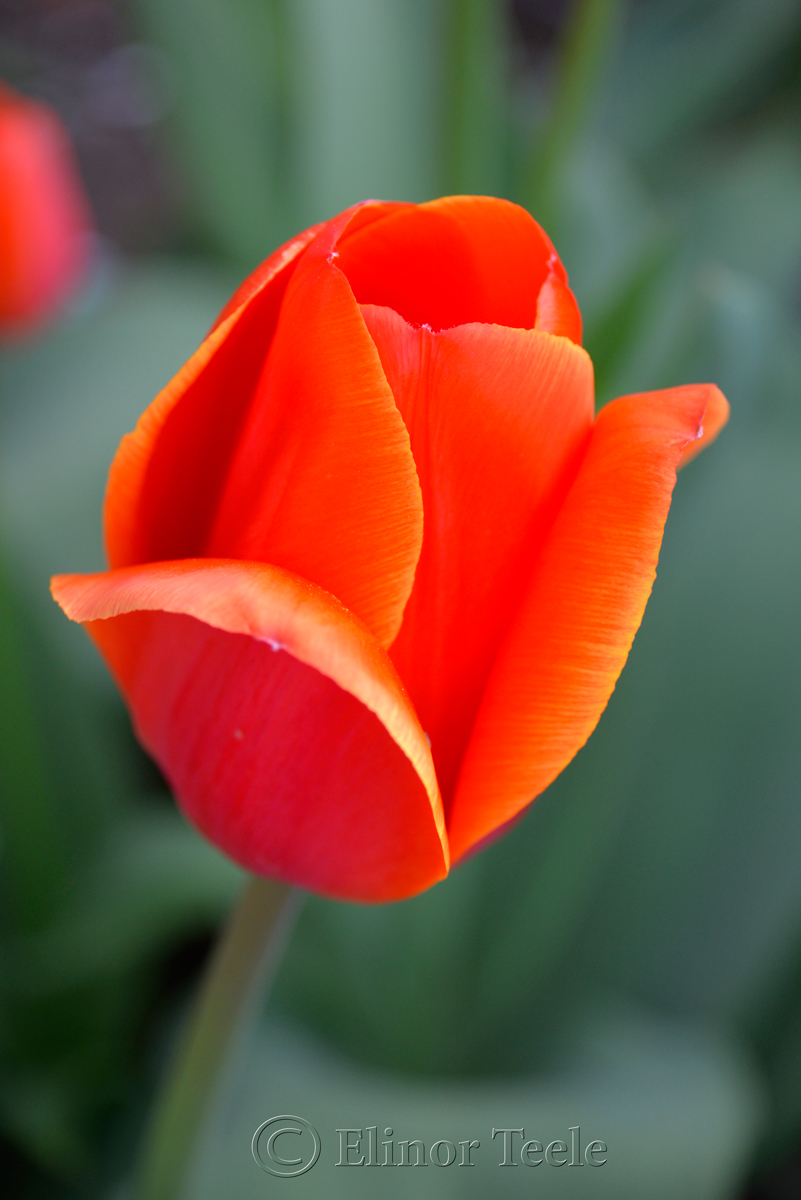 Red & Orange Tulip 1