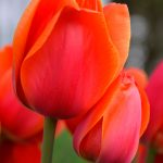 Red & Orange Tulip 2