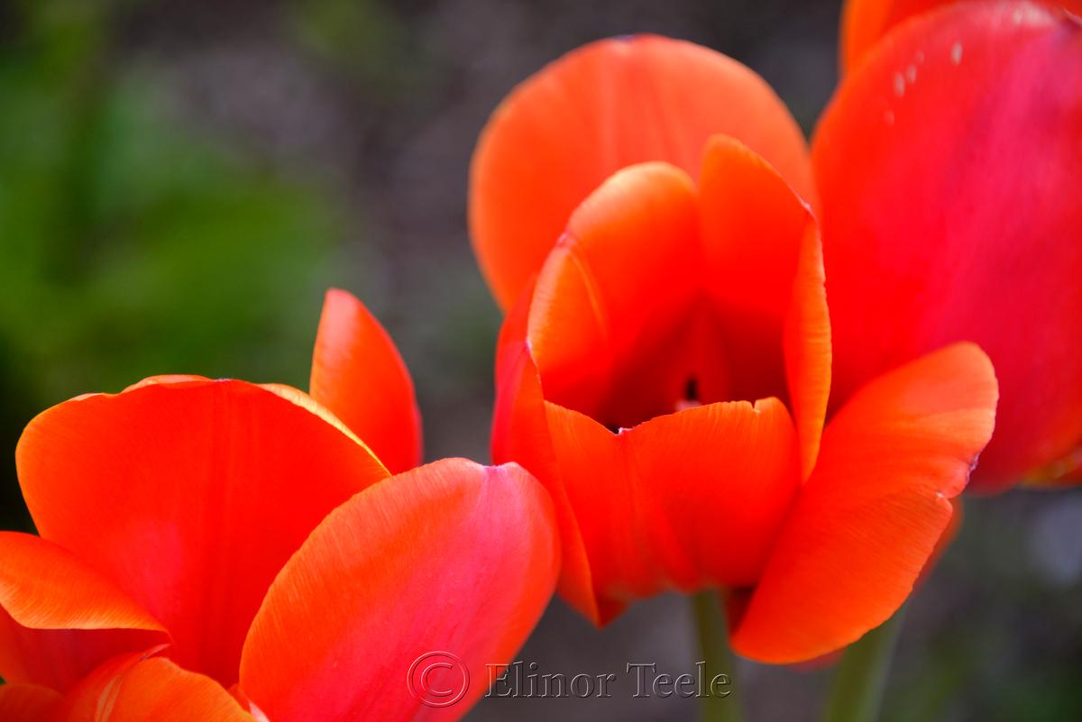 Red & Orange Tulip 3