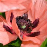 Pink Poppy Close-Up 2