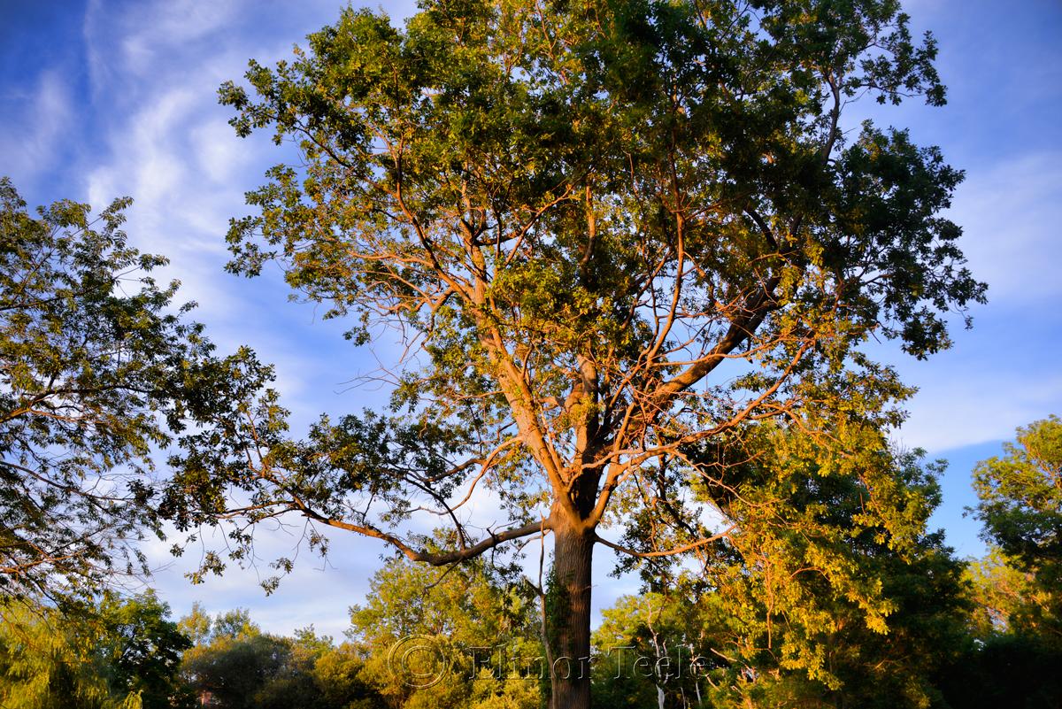 Pasture Tree (Filtered)