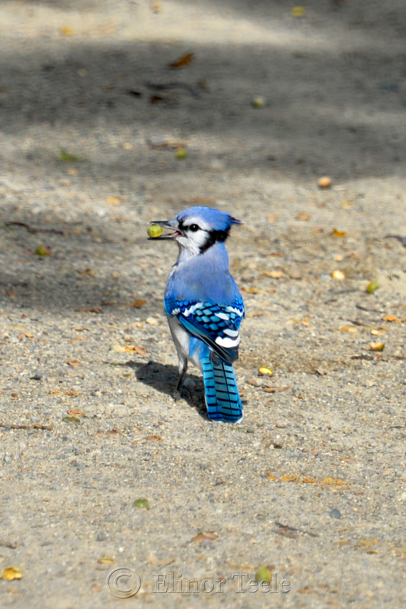 Blue Jay, Appleton Farms, Ipswich MA