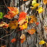 October Leaves, Appleton Farms, Ipswich MA