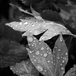 Raindrops on Leaves - Black & White 1