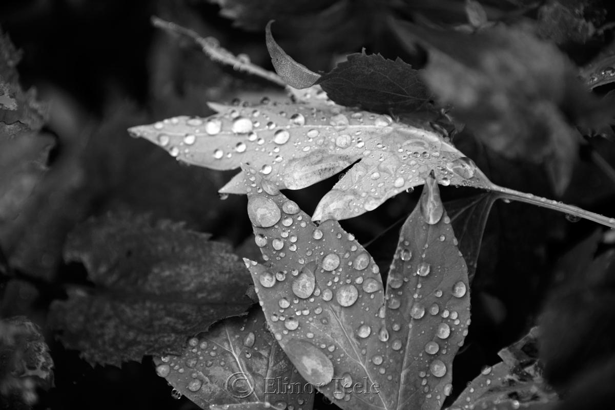 Raindrops on Leaves - Black & White 1