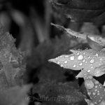Raindrops on Leaves - Black & White 3