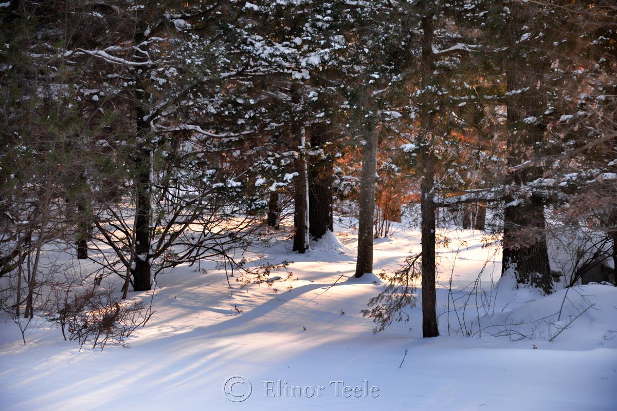 Pasture Trees - January Snow