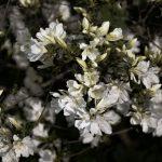 Azaleas (Dusk Filter) 1