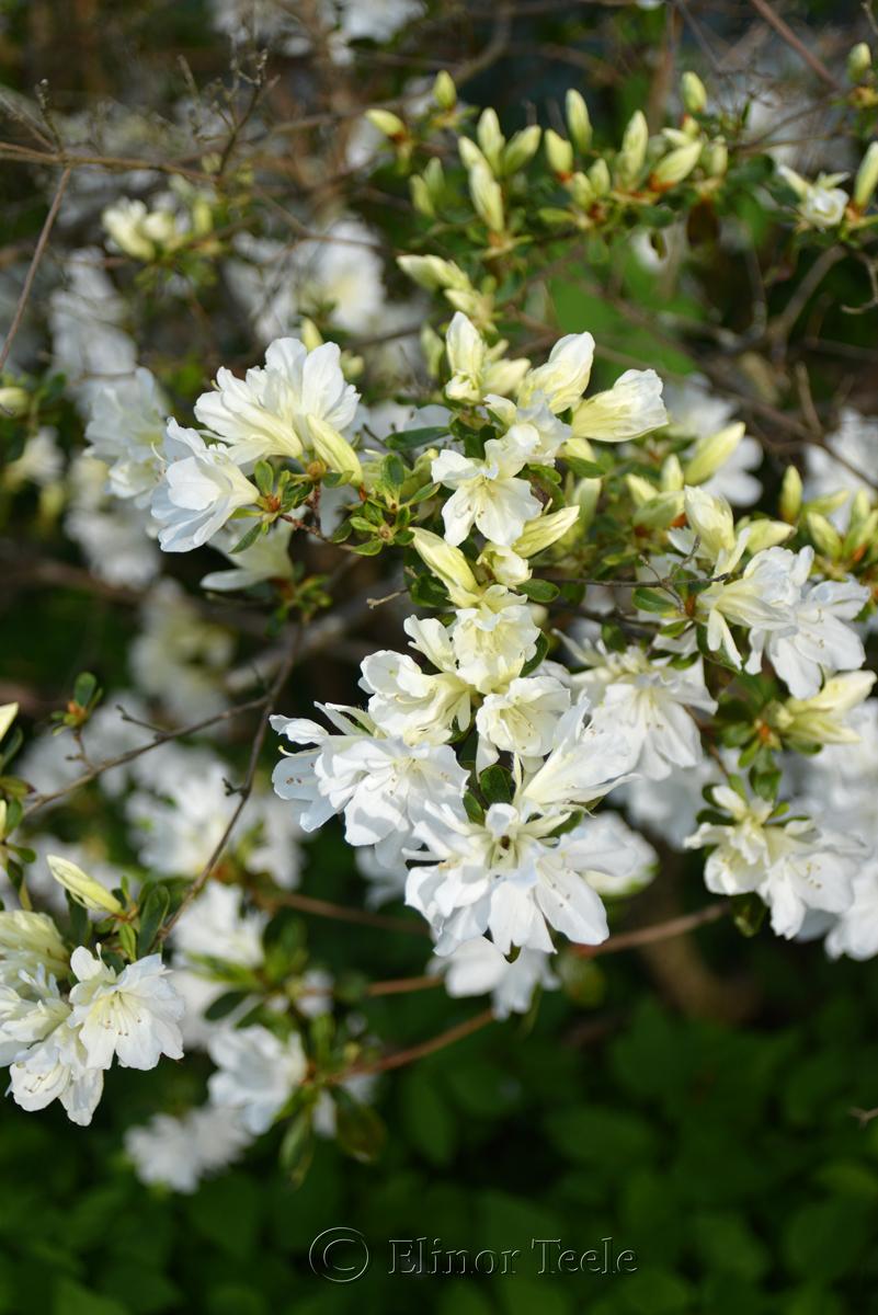 Azaleas in May 1