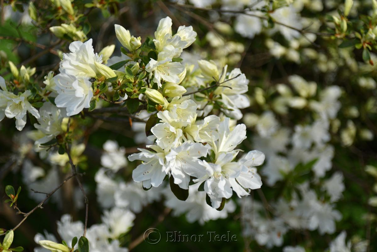 Azaleas in May 2