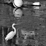 Great White Egret - Black & White 1