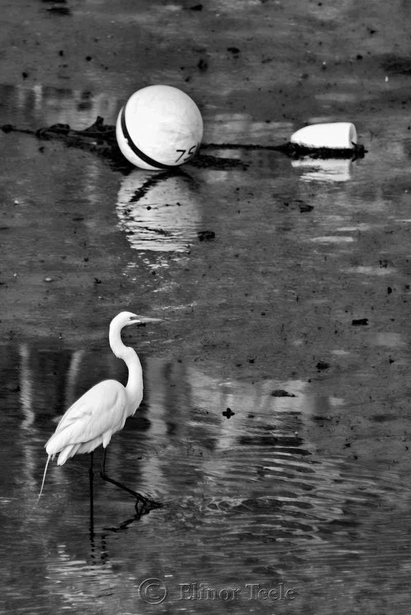Great White Egret – Black & White 1