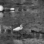 Great White Egret - Black & White 2