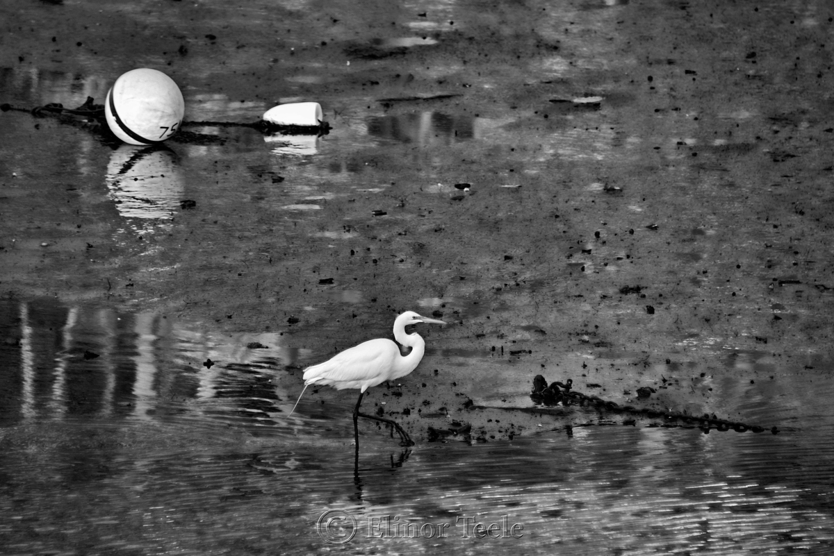 Great White Egret – Black & White 2
