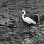 Great White Egret - Black & White 3