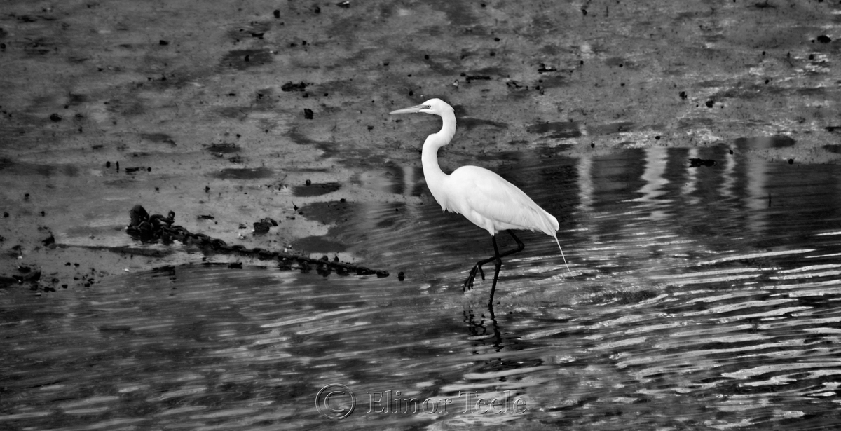 Great White Egret - Black & White 3