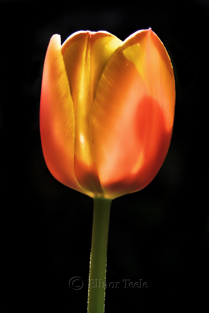 Ghostly Tulip