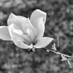 Black & White Magnolia
