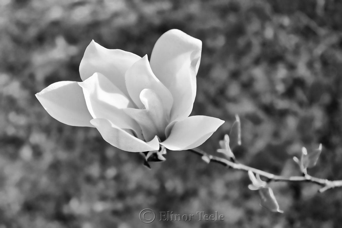 Black & White Magnolia