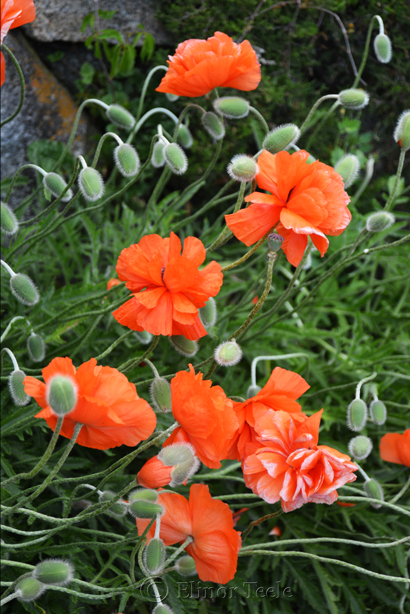 Poppies in May 1