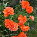 Poppies in May 2