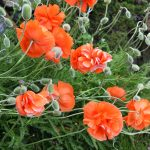 Poppies in May 3