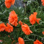 Poppies in May 4