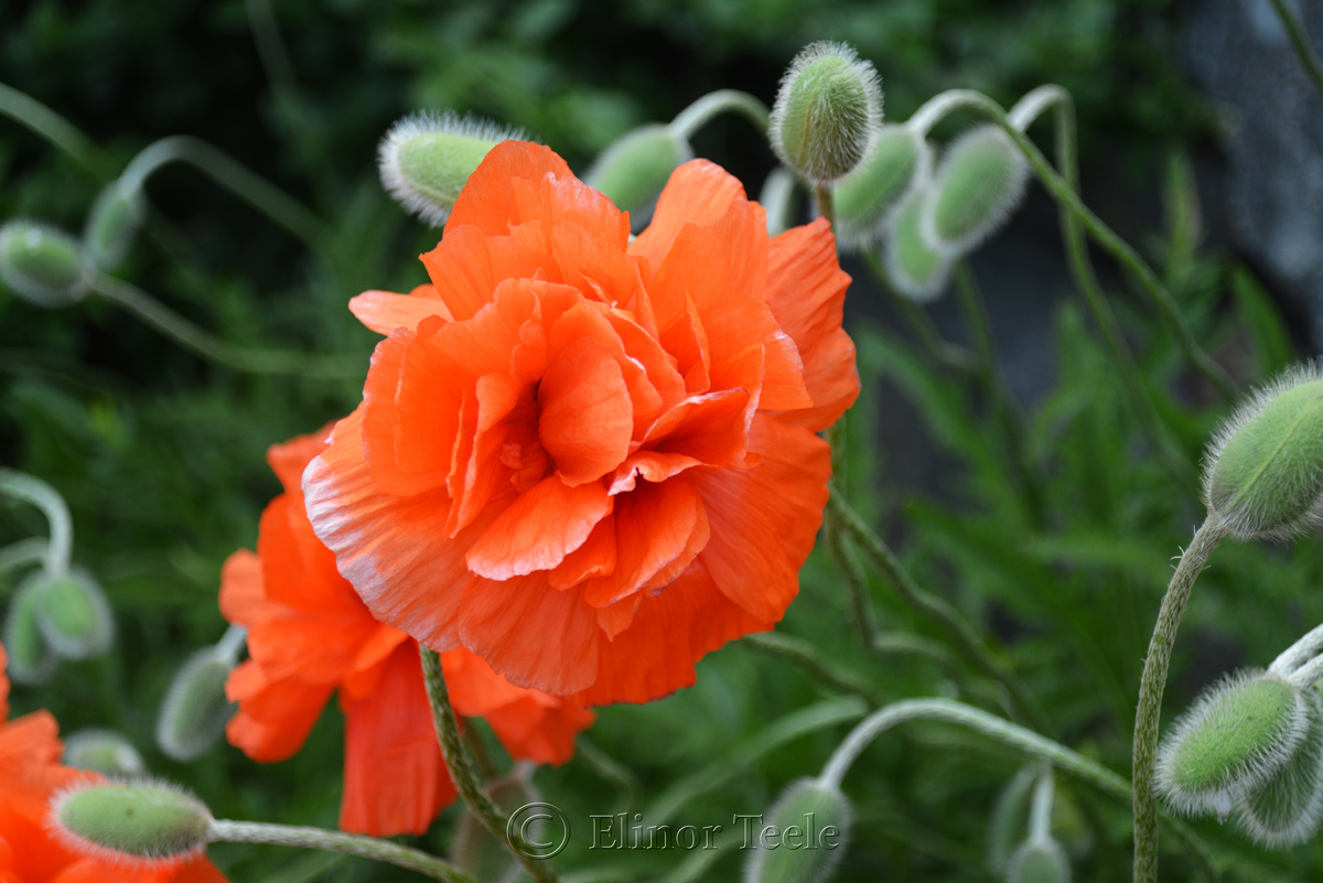 Poppies in May 5