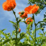 Orange Poppies in June