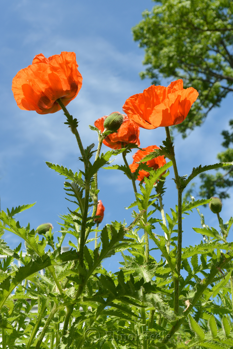 Orange Poppies in June