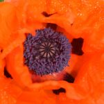 Center of an Orange Poppy 1